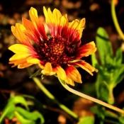 Springs-Preserve-Flower