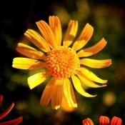 Springs-Preserve-Yellow-Flower-I